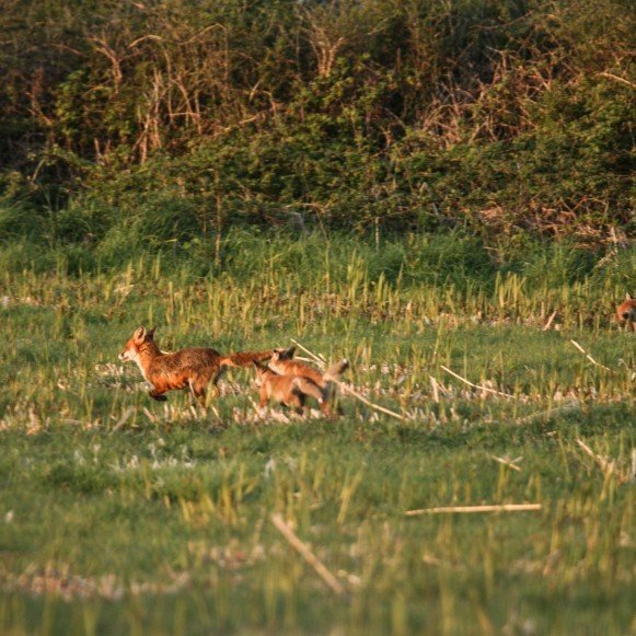Fox and Cubs Play in Field