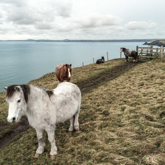 Wild Ponies on Coast Path
